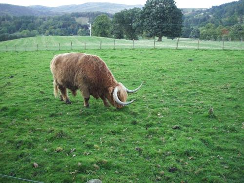 My test image - Hamish the Highland bull.